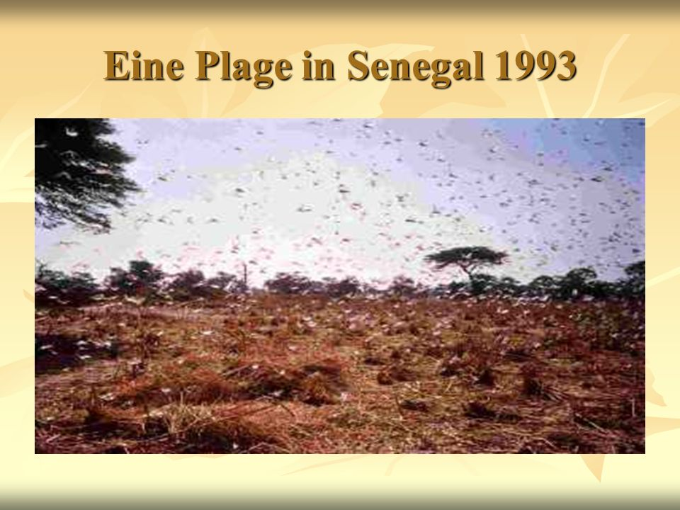 Eine Plage in Senegal 1993