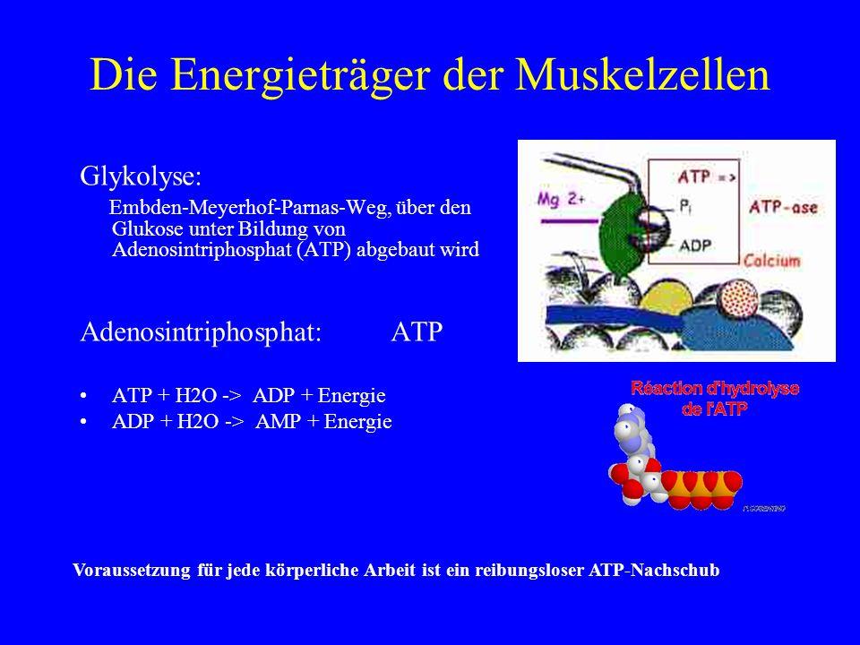 Die Energieträger der Muskelzellen