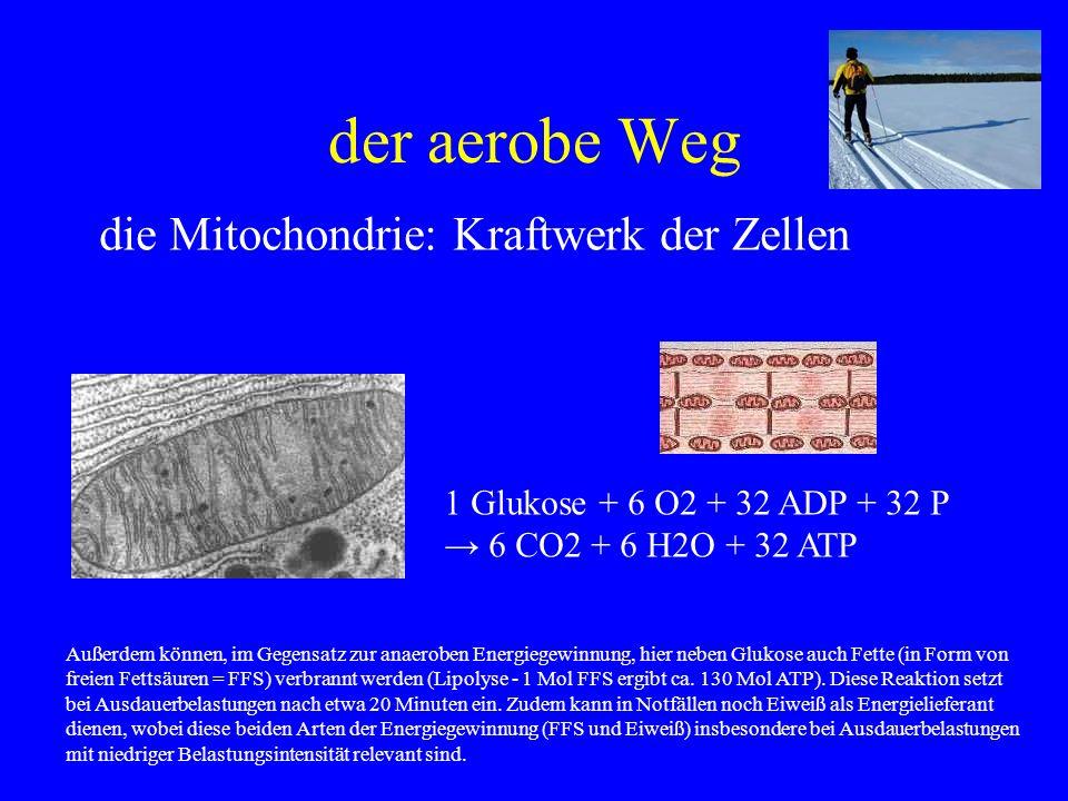 der aerobe Weg die Mitochondrie: Kraftwerk der Zellen