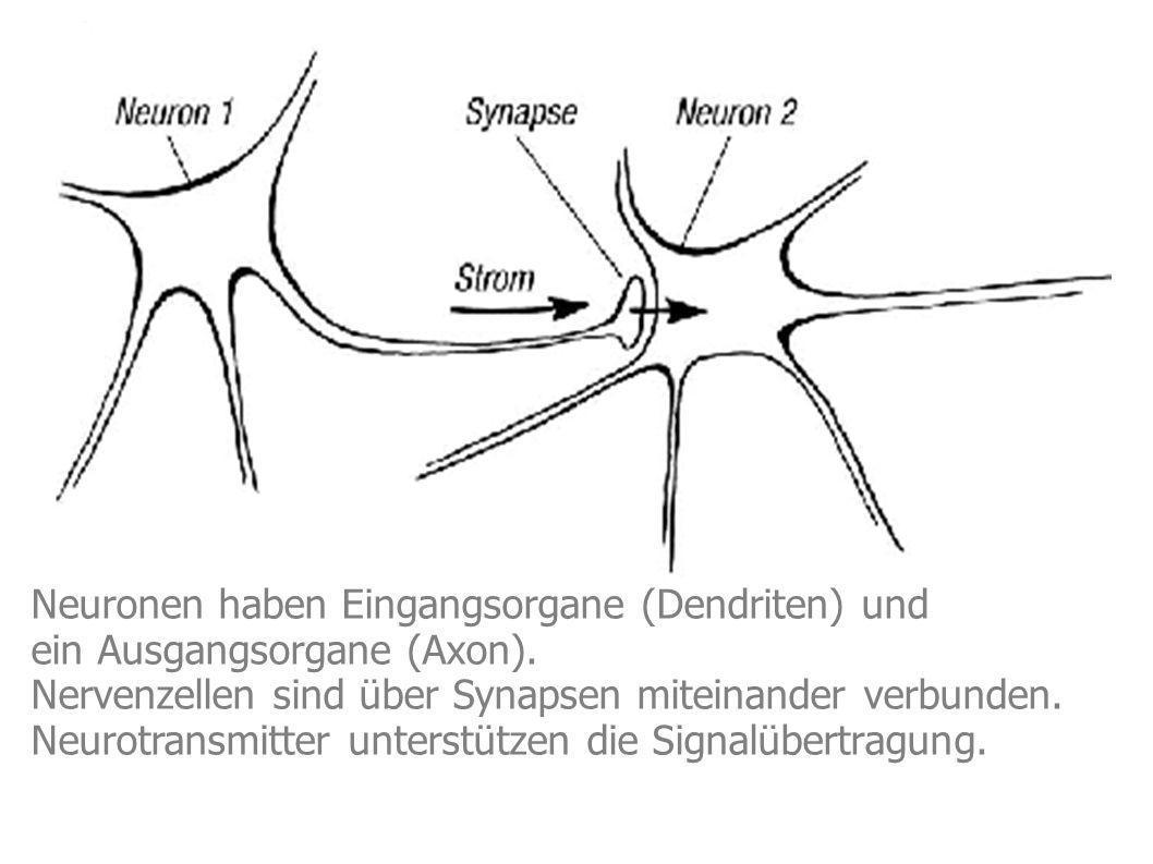 Neuronen haben Eingangsorgane (Dendriten) und