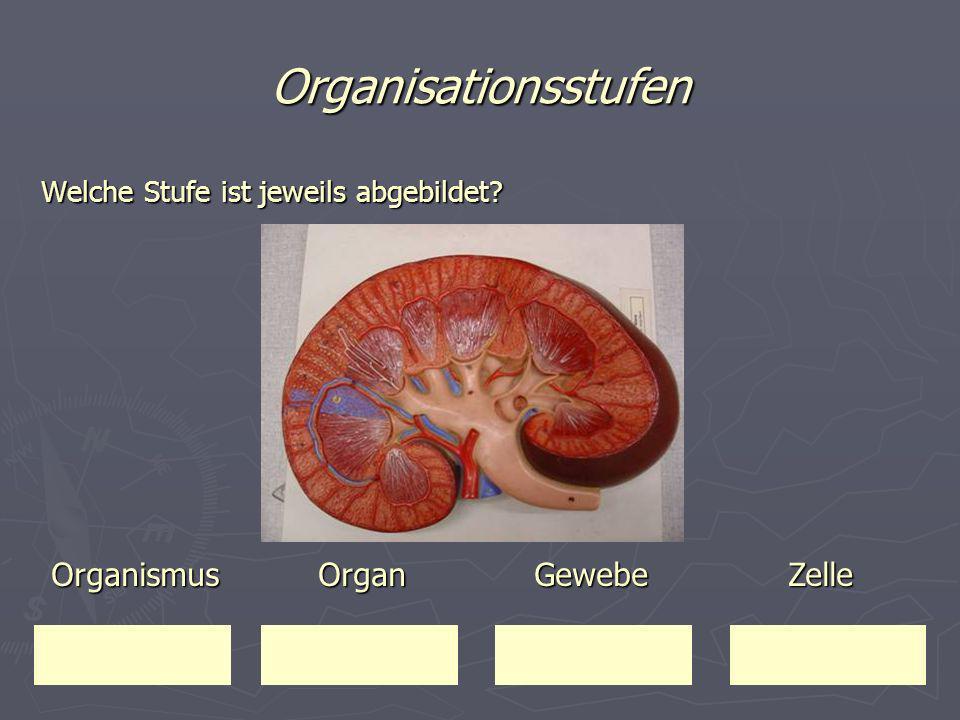 Organisationsstufen Organismus Organ Gewebe Zelle