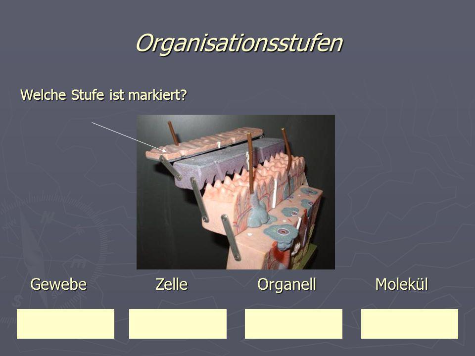 Organisationsstufen Gewebe Zelle Organell Molekül