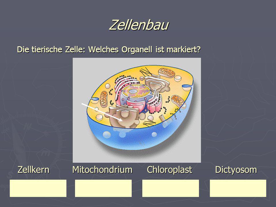 Zellenbau Zellkern Mitochondrium Chloroplast Dictyosom