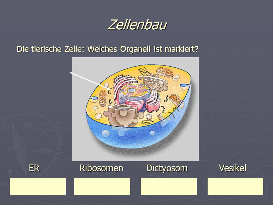 Zellenbau ER Ribosomen Dictyosom Vesikel