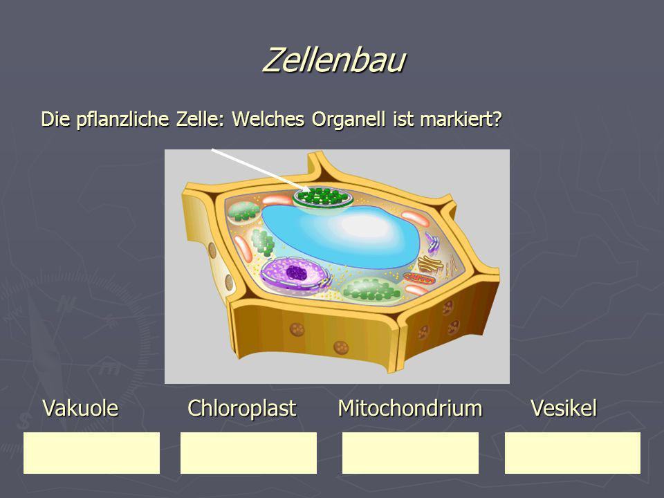 Zellenbau Vakuole Chloroplast Mitochondrium Vesikel