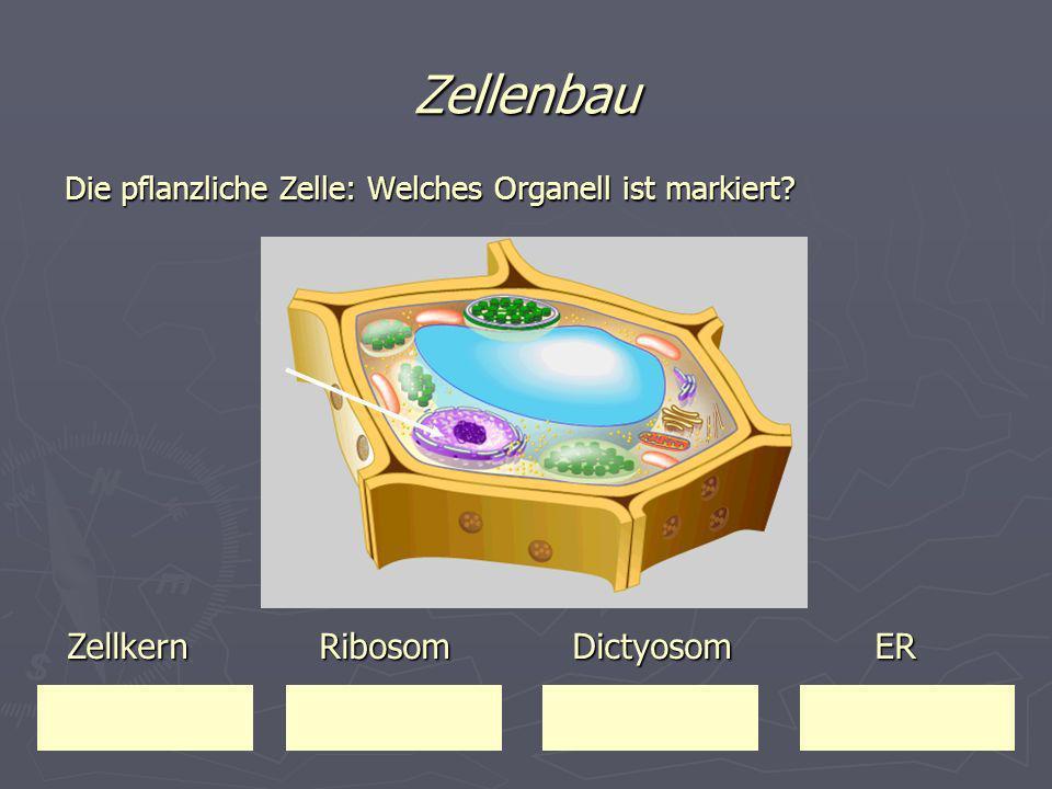 Zellenbau Zellkern Ribosom Dictyosom ER