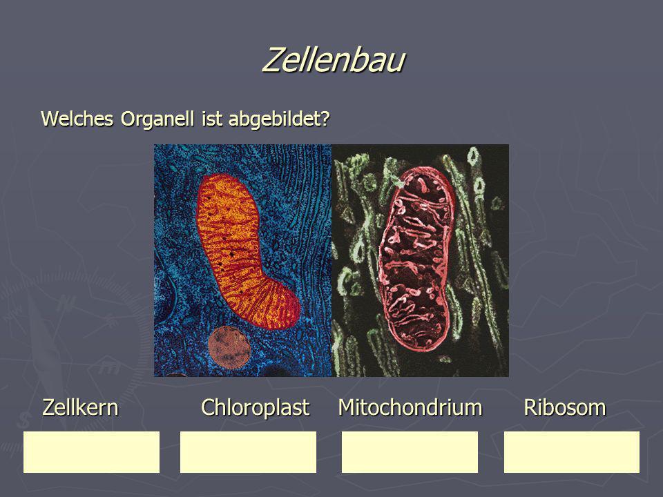 Zellenbau Zellkern Chloroplast Mitochondrium Ribosom