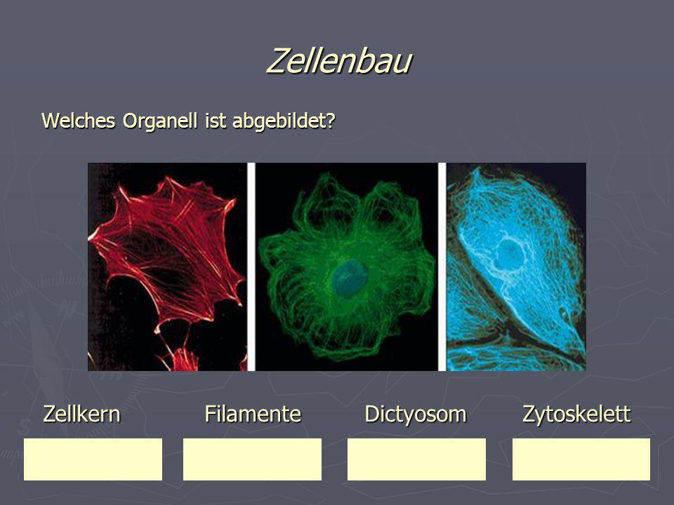 Zellenbau Zellkern Filamente Dictyosom Zytoskelett