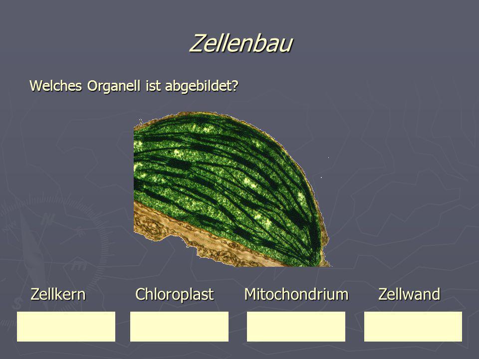 Zellenbau Zellkern Chloroplast Mitochondrium Zellwand