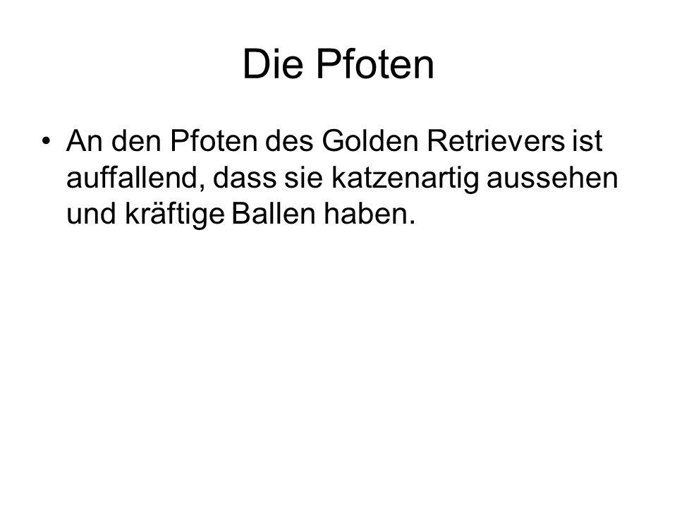 Die Pfoten An den Pfoten des Golden Retrievers ist auffallend, dass sie katzenartig aussehen und kräftige Ballen haben.