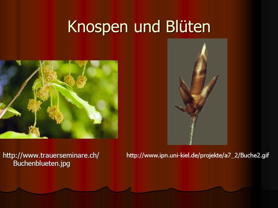 Knospen und Blüten http://www.trauerseminare.ch/Buchenblueten.jpg