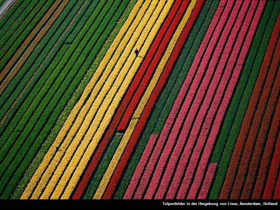Tulpenfelder in der Umgebung von Lisse, Amsterdam, Holland