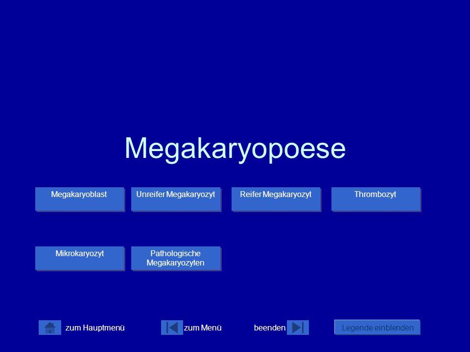 Megakaryopoese Megakaryoblast Unreifer Megakaryozyt