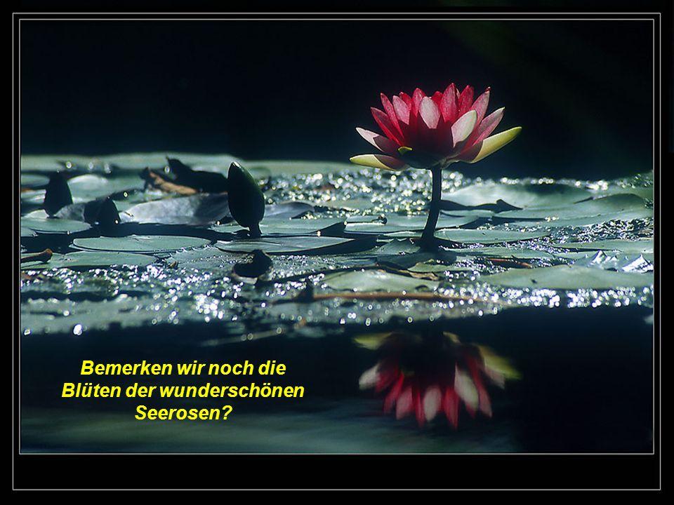 Bemerken wir noch die Blüten der wunderschönen Seerosen