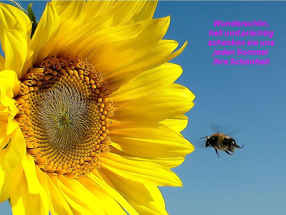 Wunderschön, hell und prächtig schenken sie uns jeden Sommer Ihre Schönheit