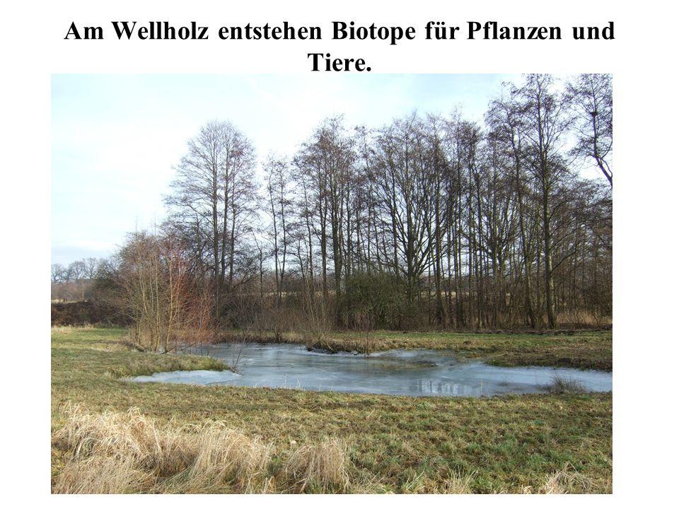 Am Wellholz entstehen Biotope für Pflanzen und Tiere.