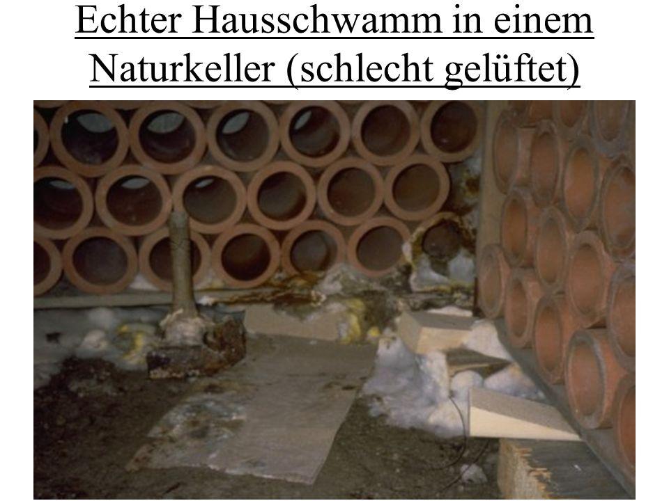 Echter Hausschwamm in einem Naturkeller (schlecht gelüftet)