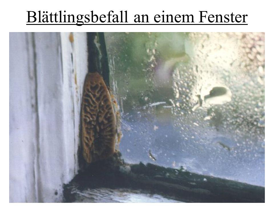 Blättlingsbefall an einem Fenster