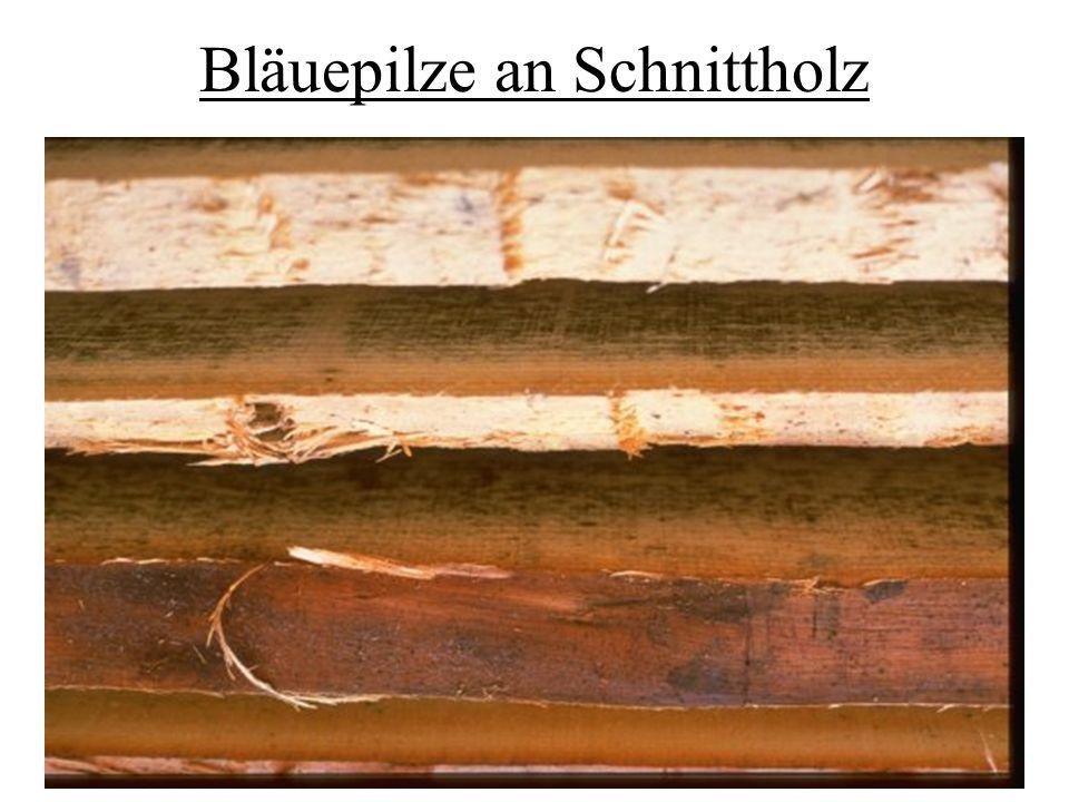 Bläuepilze an Schnittholz