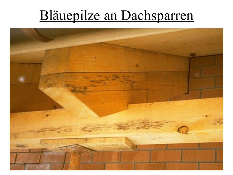 Bläuepilze an Dachsparren