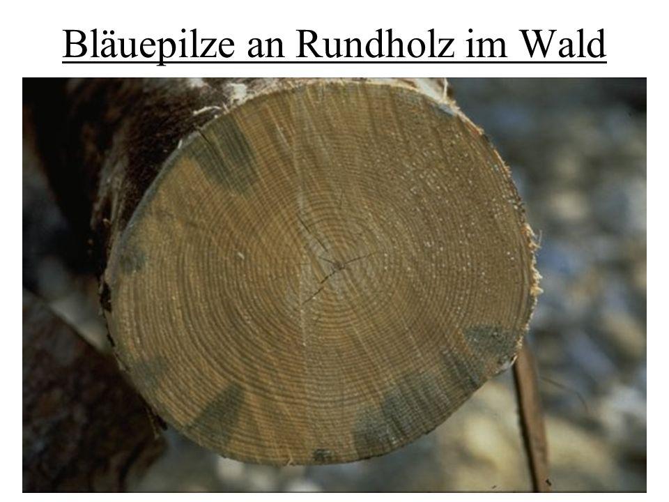 Bläuepilze an Rundholz im Wald