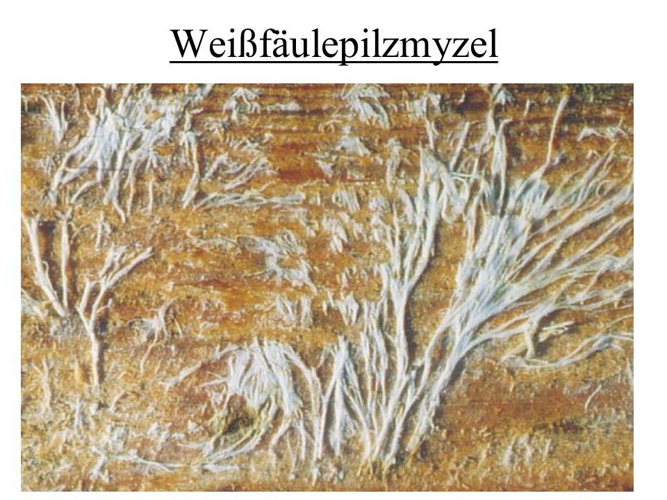 Weißfäulepilzmyzel