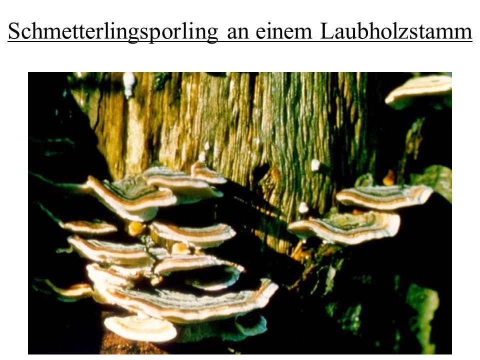 Schmetterlingsporling an einem Laubholzstamm