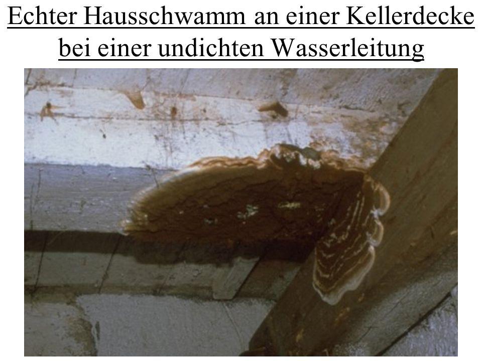 Echter Hausschwamm an einer Kellerdecke bei einer undichten Wasserleitung