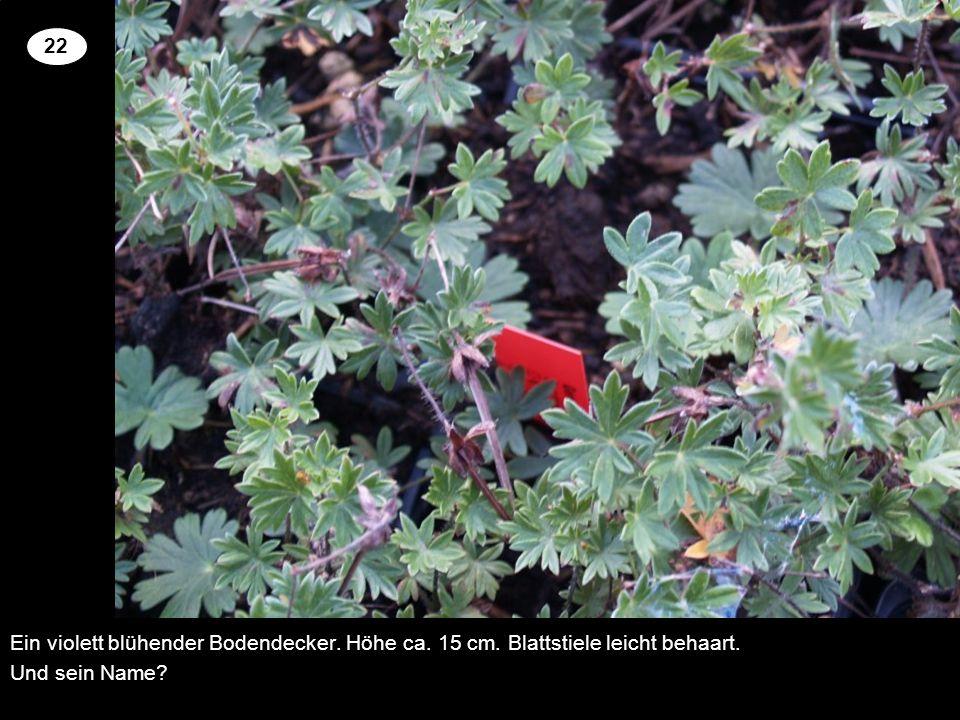 22 Ein violett blühender Bodendecker. Höhe ca. 15 cm. Blattstiele leicht behaart. Und sein Name