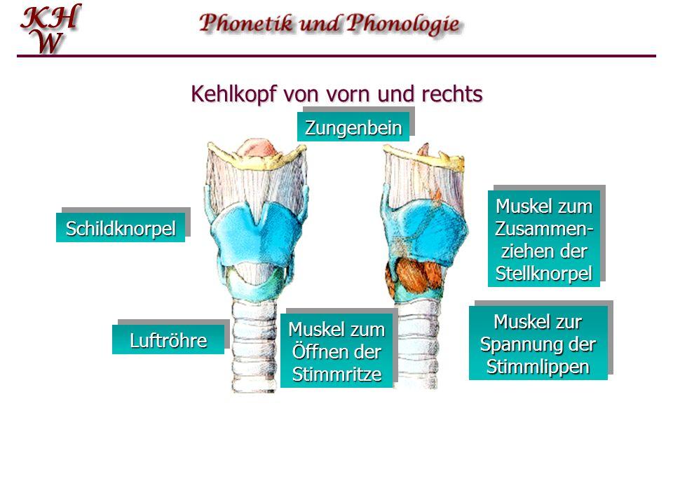 Kehlkopf von vorn und rechts