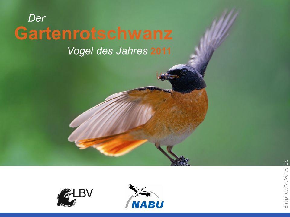 Gartenrotschwanz Vogel des Jahres 2011 Der Birdphoto/M. Varesvuo