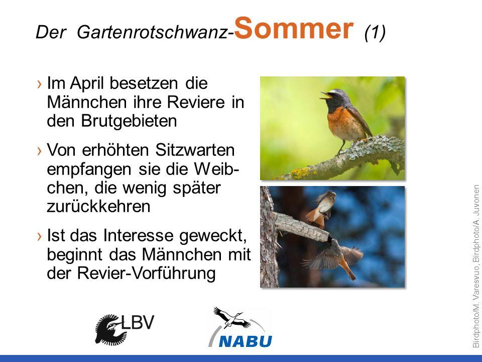 Der Gartenrotschwanz-Sommer (1)