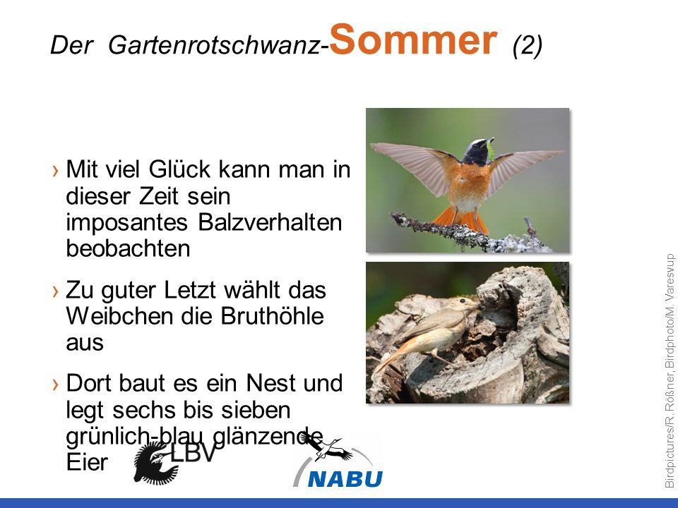 Der Gartenrotschwanz-Sommer (2)