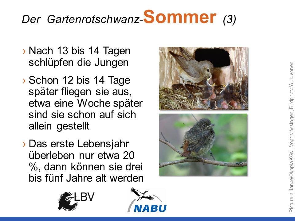 Der Gartenrotschwanz-Sommer (3)