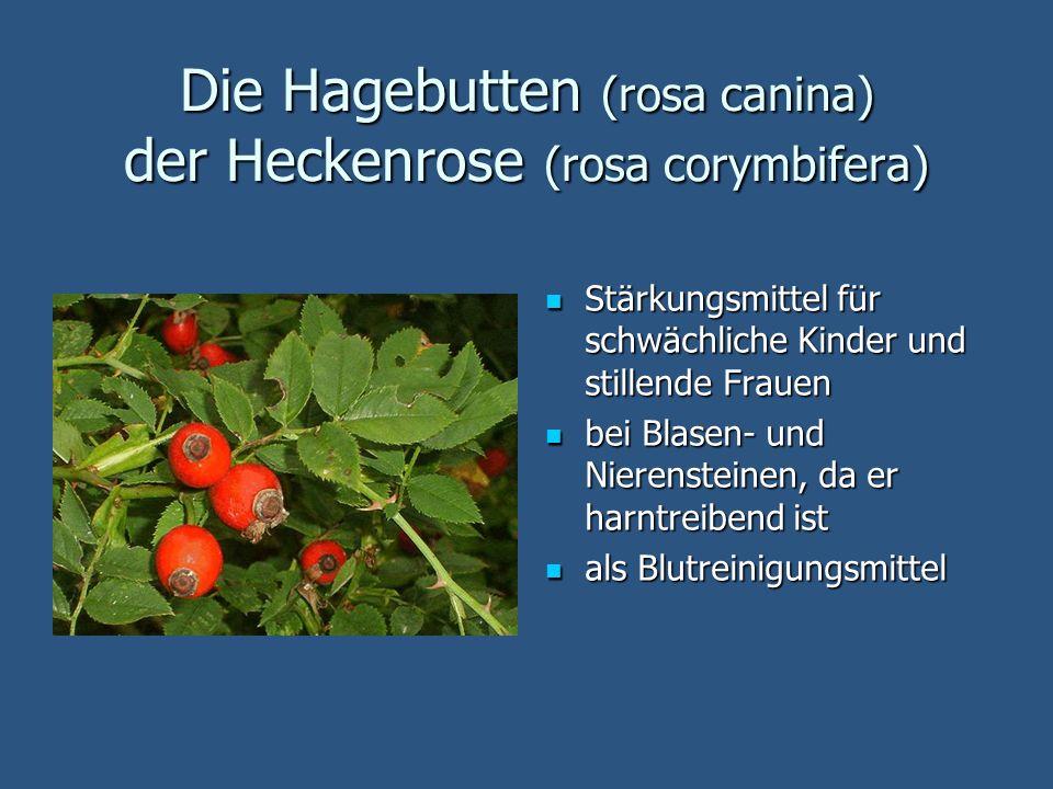 Die Hagebutten (rosa canina) der Heckenrose (rosa corymbifera)