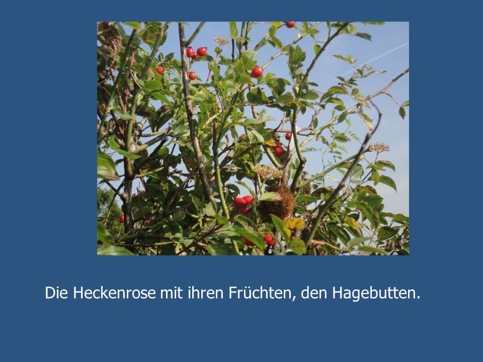 Die Heckenrose mit ihren Früchten, den Hagebutten.