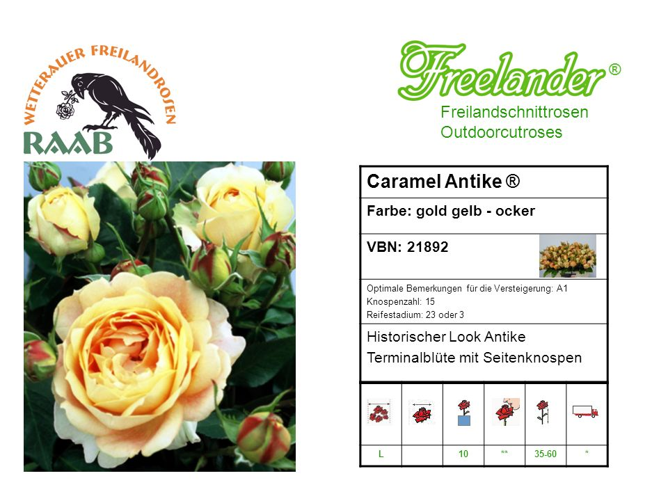 Caramel Antike ® ® Freilandschnittrosen Outdoorcutroses