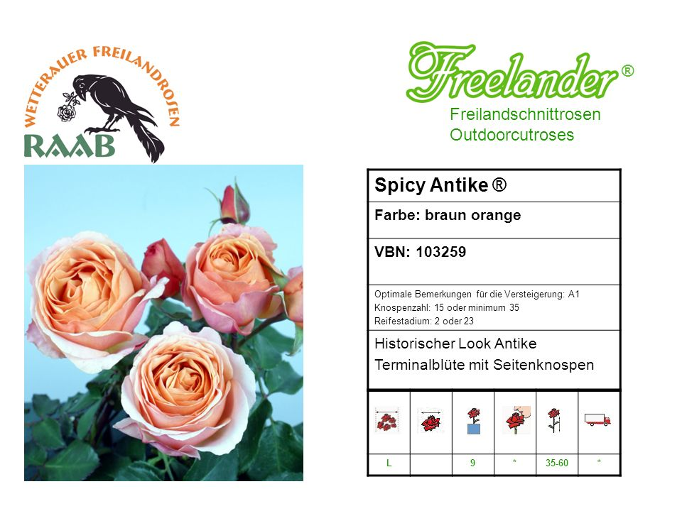 Spicy Antike ® ® Freilandschnittrosen Outdoorcutroses