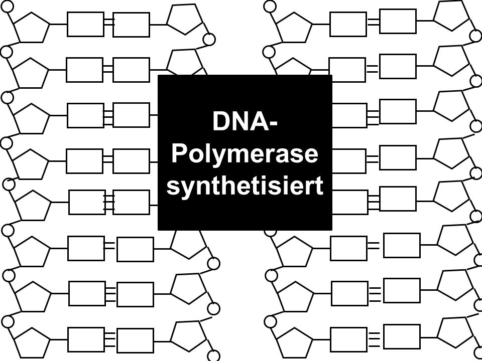 DNA-Polymerase synthetisiert