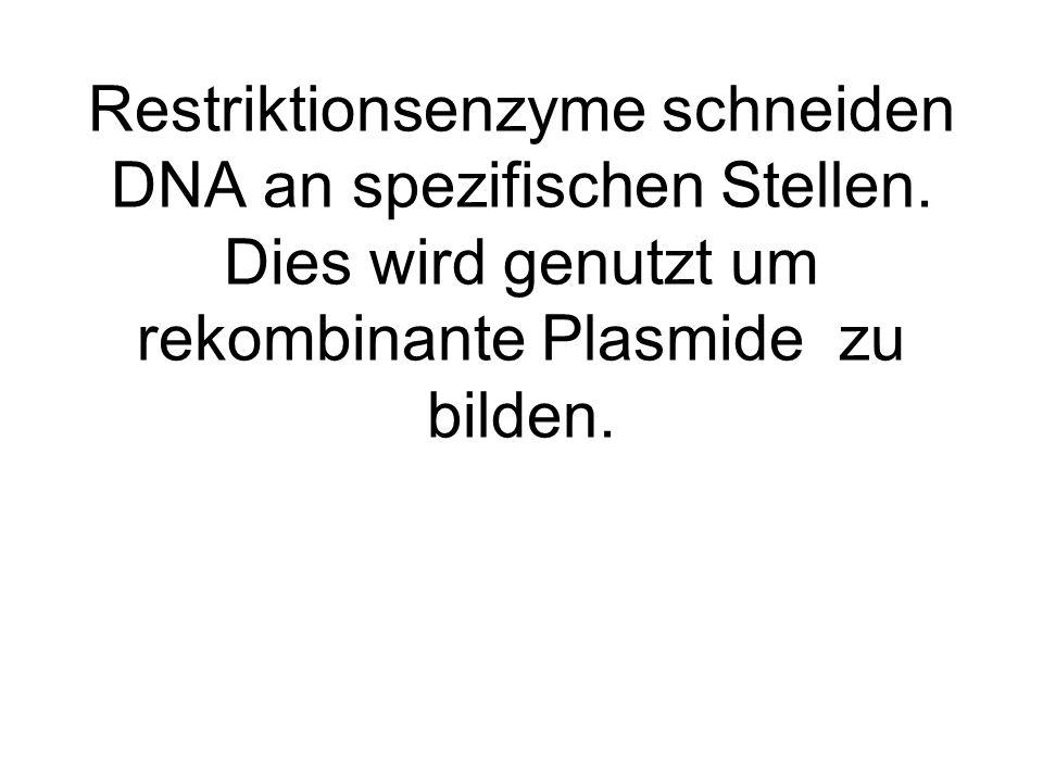Restriktionsenzyme schneiden DNA an spezifischen Stellen