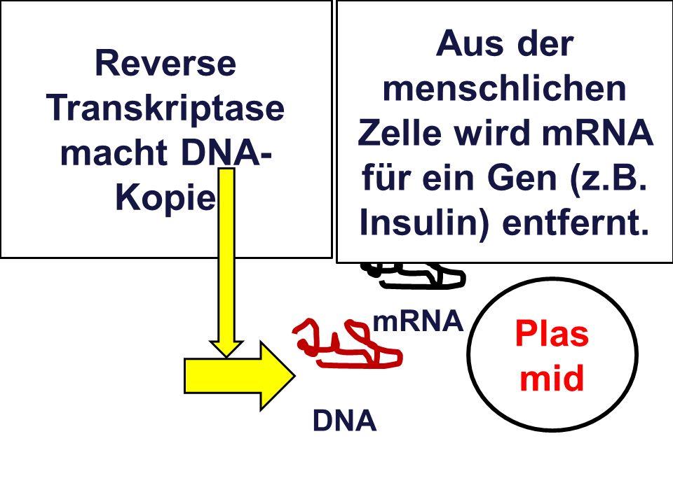 Reverse Transkriptase macht DNA-Kopie