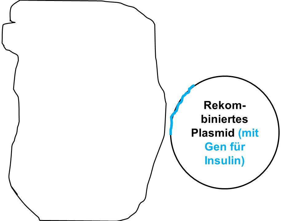 Rekom-biniertes Plasmid (mit Gen für Insulin)