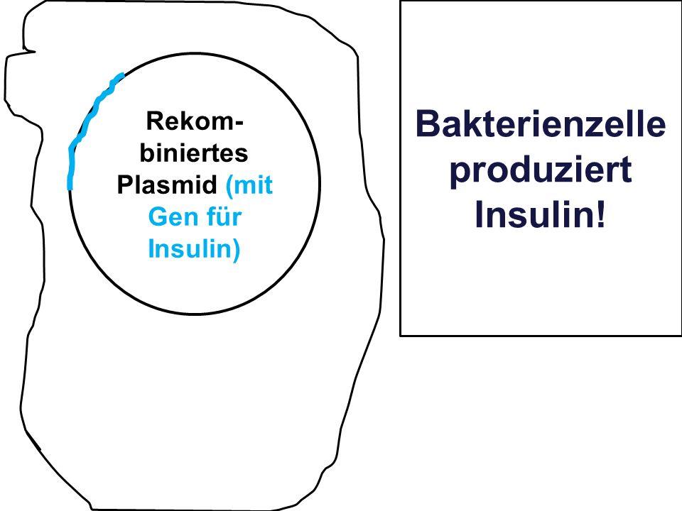 Bakterienzelle produziert Insulin!