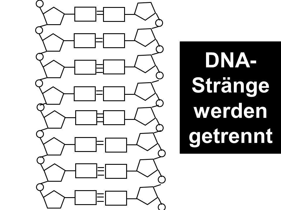 DNA-Stränge werden getrennt