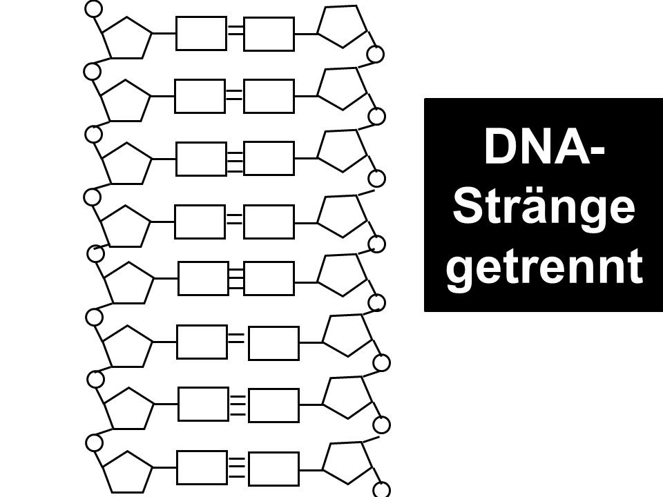 DNA-Stränge getrennt