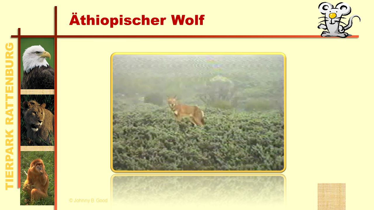 Äthiopischer Wolf © Johnny B. Good