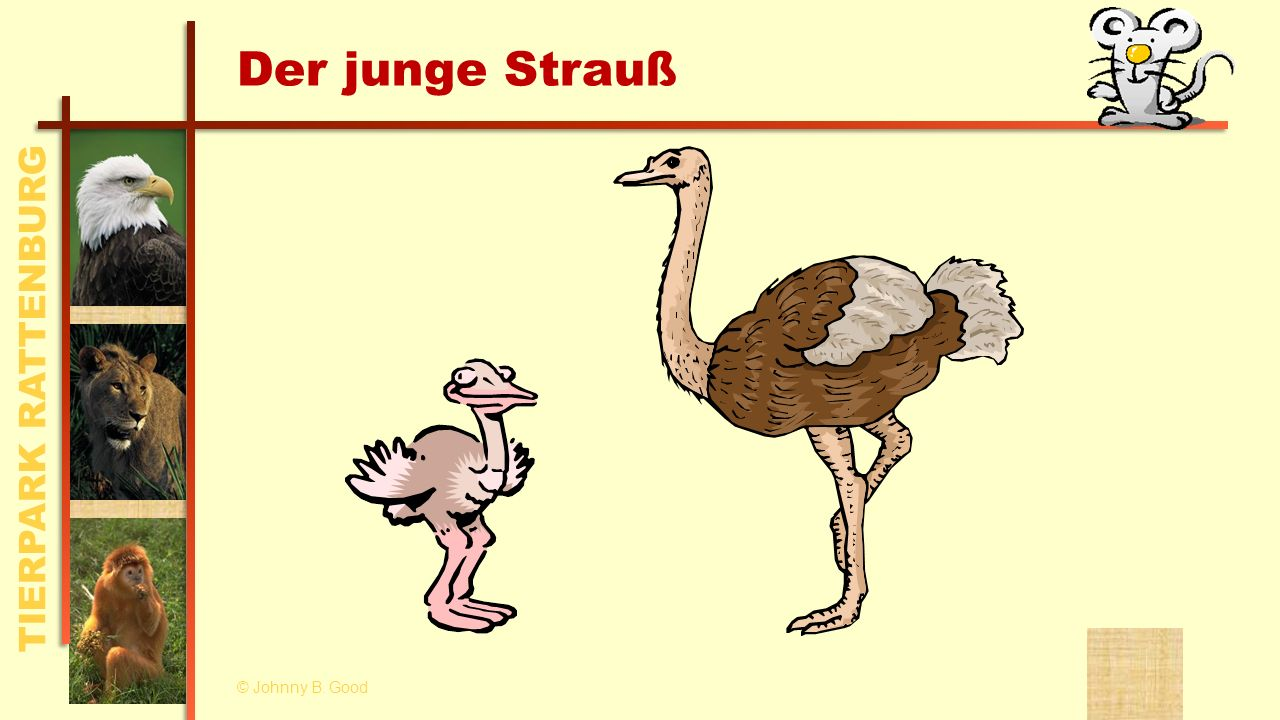 Der junge Strauß © Johnny B. Good