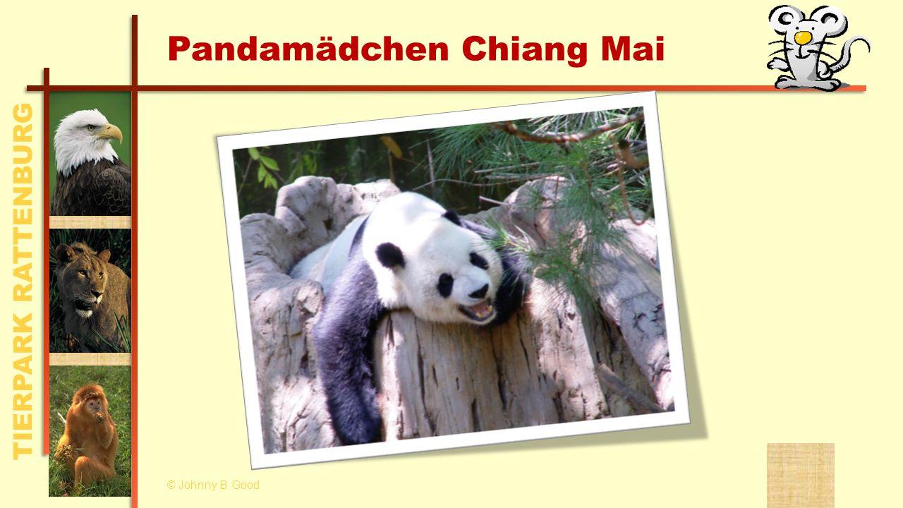 Pandamädchen Chiang Mai