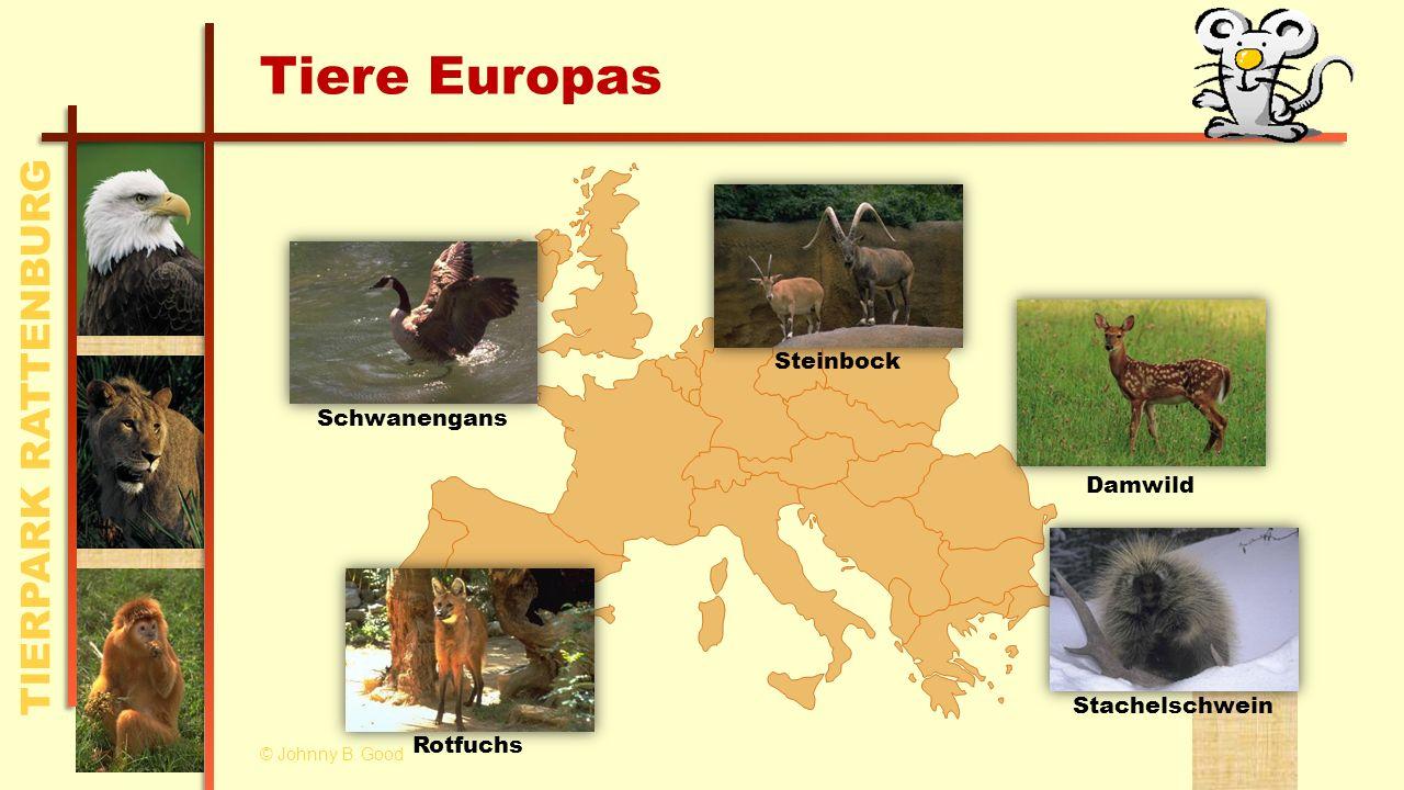 Tiere Europas Steinbock Schwanengans Damwild Stachelschwein Rotfuchs