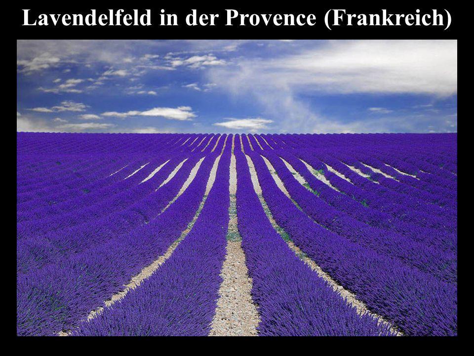 Lavendelfeld in der Provence (Frankreich)
